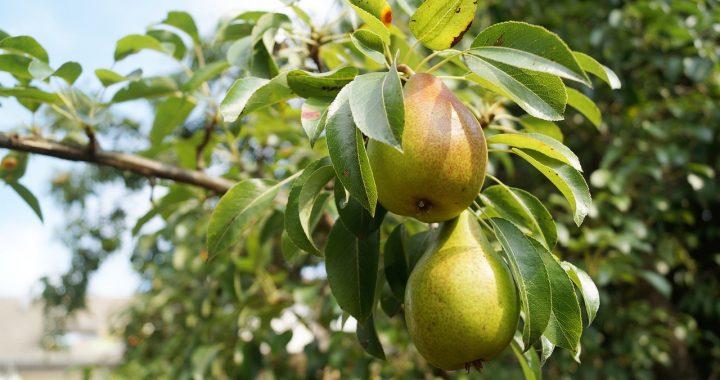 8.000 onverkochte perenbomen gratis af te halen