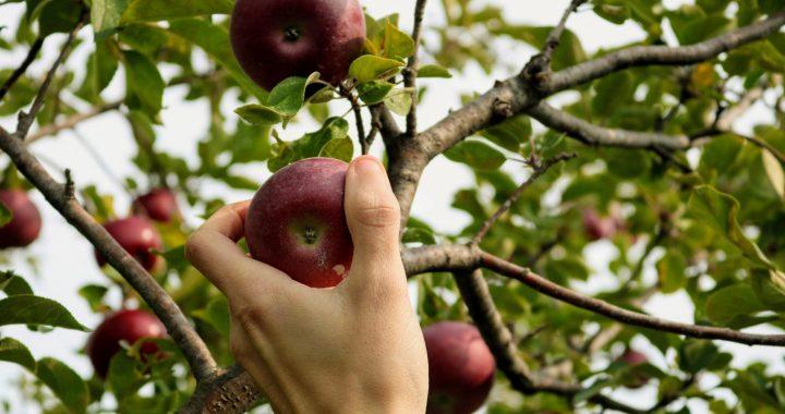 Plan Boom Fryslân start met gratis fruitbomen in Heeg